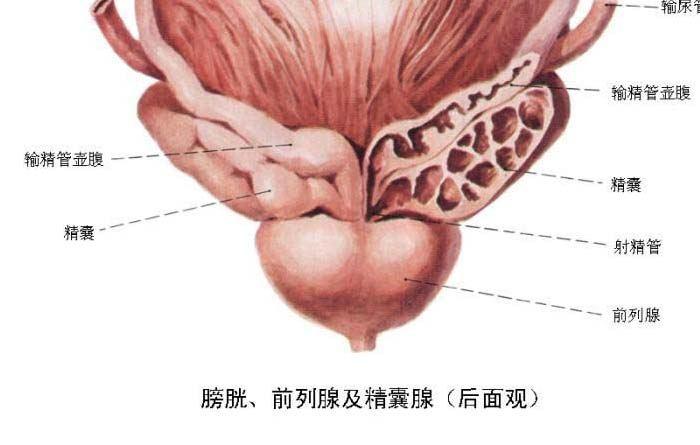 精囊炎的病因